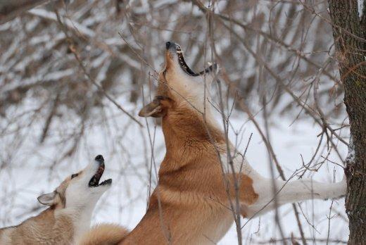 Самая интересная охота на куницу - с лайкой зарко лает пес