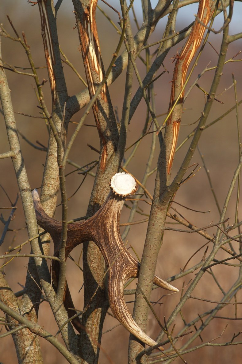 следы на деревьях от рогов лося фото имел отношение