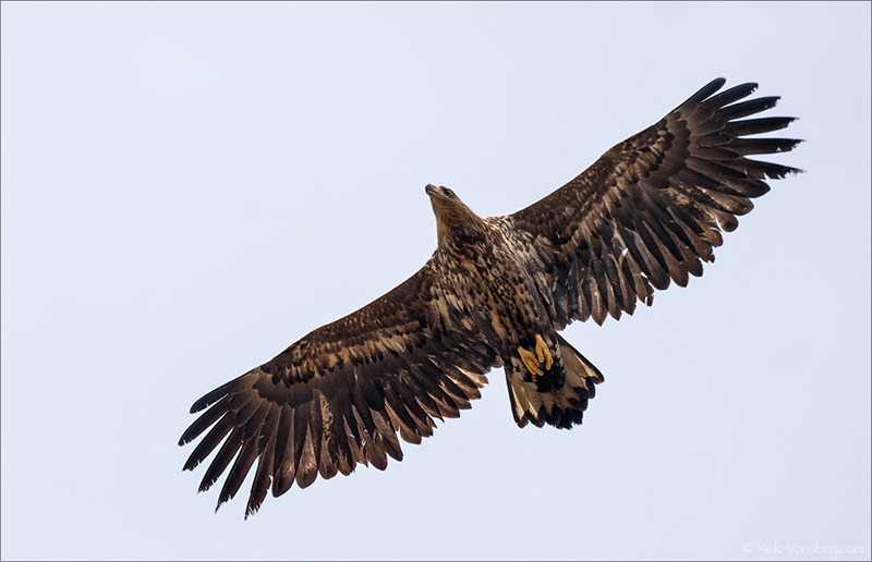 15_DSC0873_White-tailed_Eagle_soar_39pc-Arlan.jpg