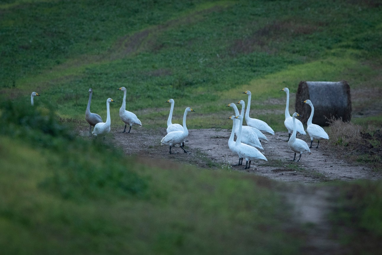 16 9 Лебеди кликуны.jpg