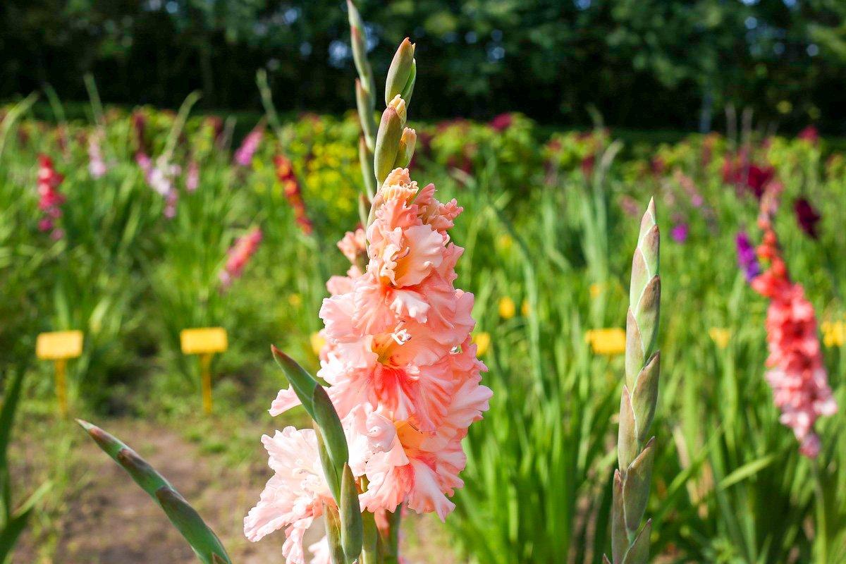 картинки цветы садовые гладиолусы картинки местных