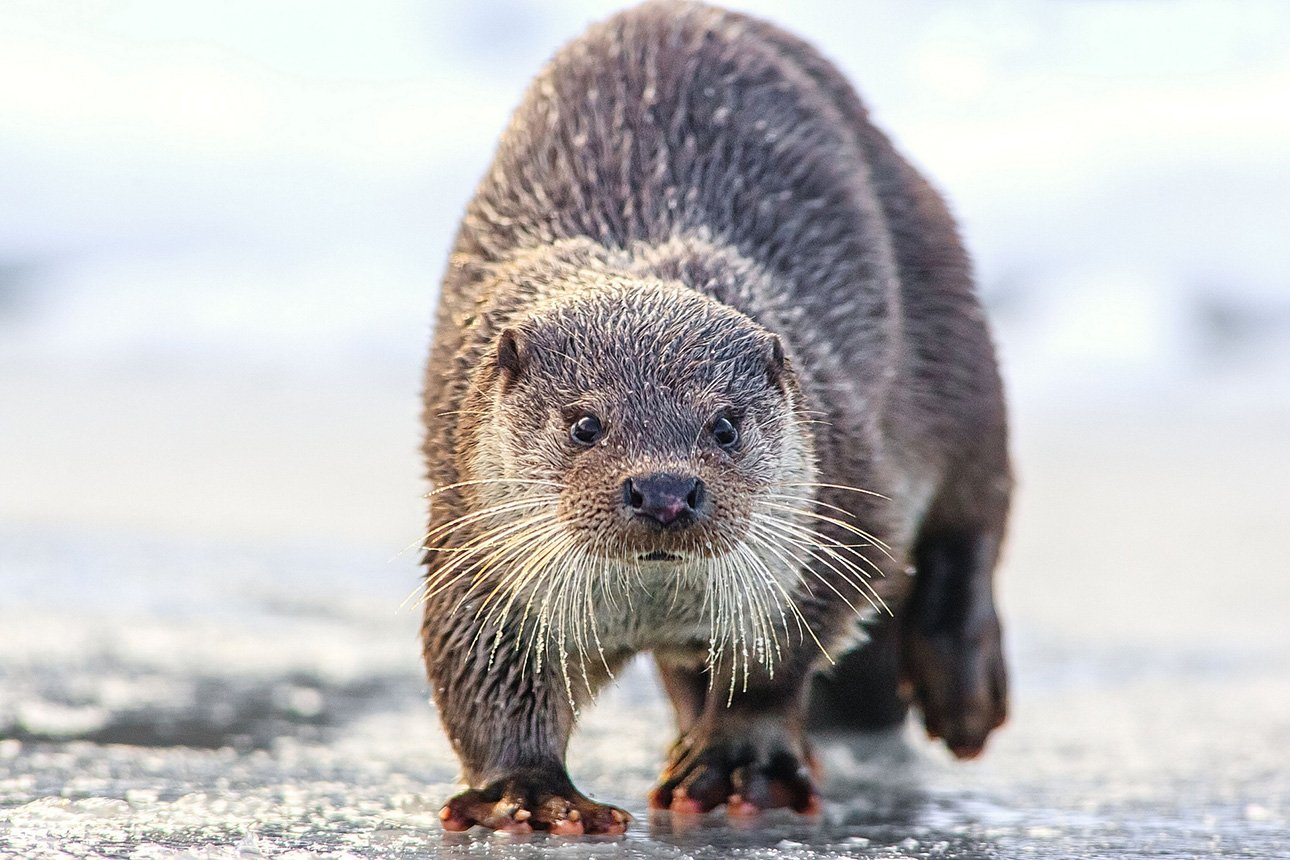 Otter-Wallpapers-6.jpg