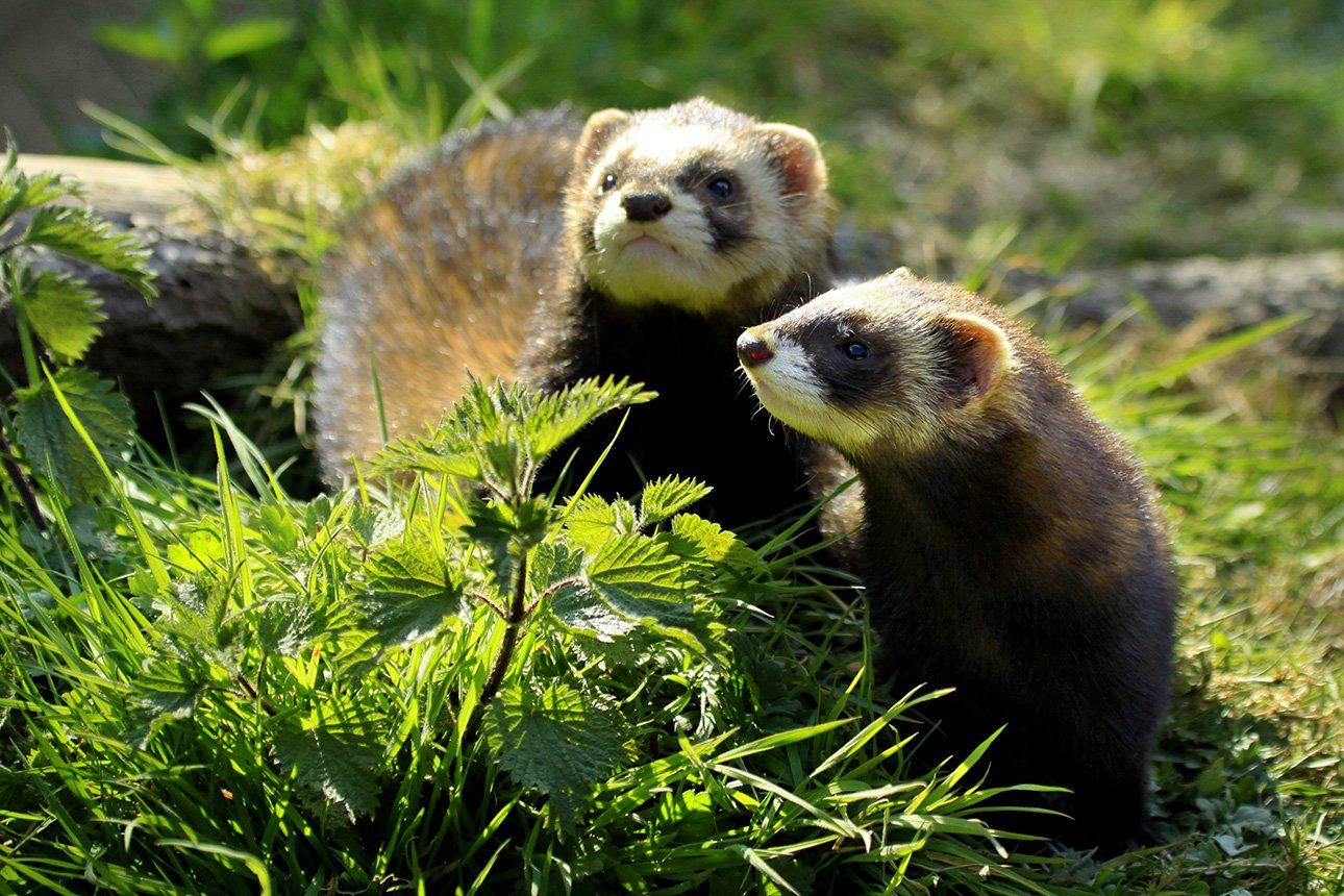 ferret-animals-wallpaper-15417-15920-hd-wallpapers.jpg