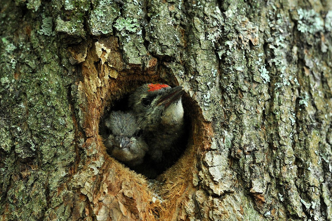Гнезда в дуплах деревьев фото