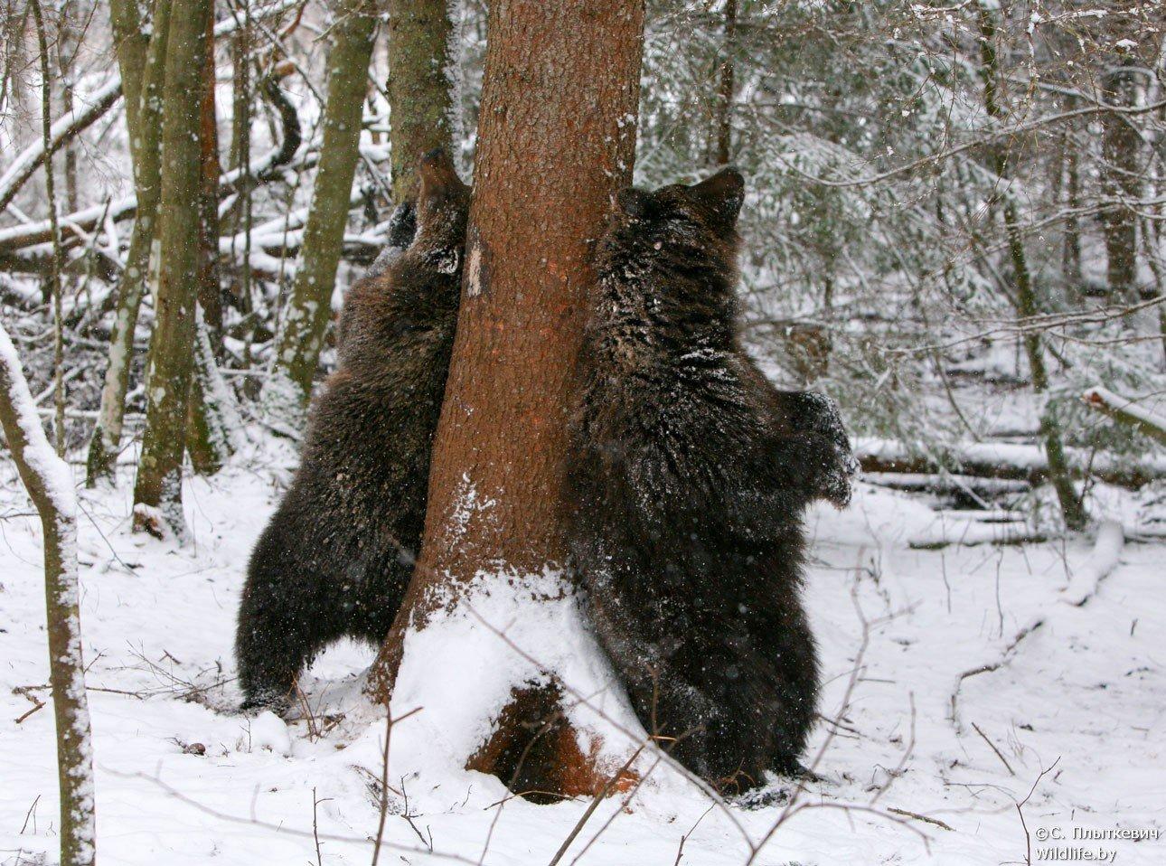 фото меток медведей на деревьях ансамбля