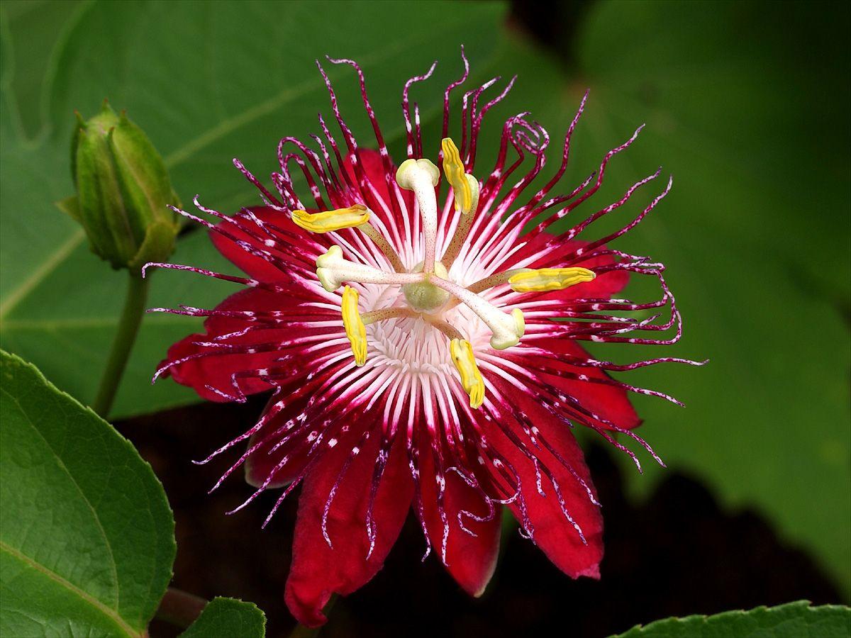 passiflora-krulatka-krasnaia.jpg