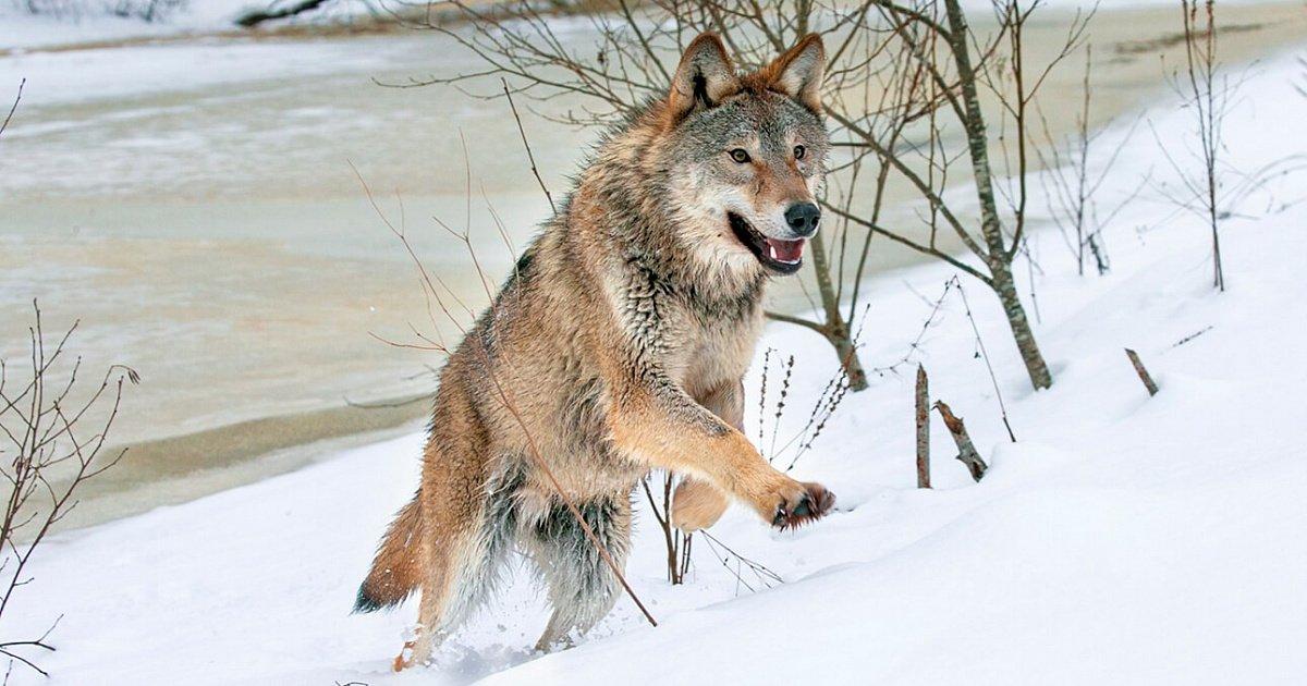 Что «не так» в Беларуси – с волком или с ООПТ?