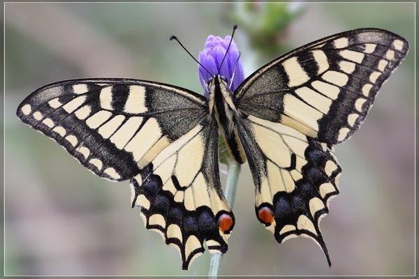 Махаон красивая бабочка, широко распространена в европе, в азии, в северной африке и северной